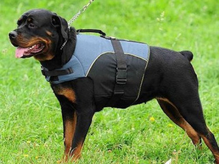 378193_2-Rottweilers