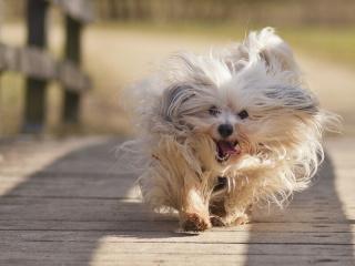 dog-fluffy-run